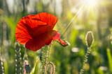 big fresh poppy in the field