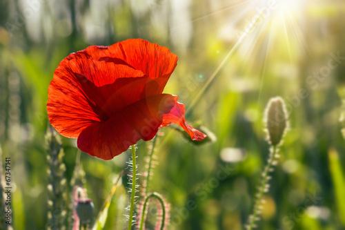 Keuken foto achterwand Poppy big fresh poppy in the field