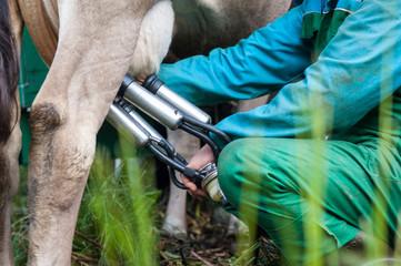 mungitura mucca