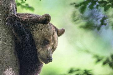 brown bear on a tree