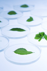 Leaves in Petri Dish