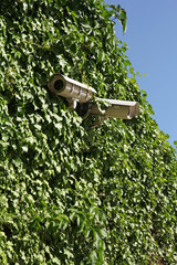 security cameras on ivy covered wall