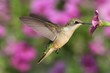 Ruby-throated Hummingbird - 67350340