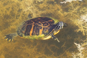 Florida Red-bellied Cooter (Pseudemys Chrysemys nelsoni)
