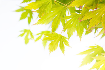 Bright green Japanese maple leaves background