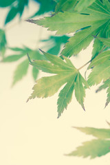 Green leaves of Japanese maple tree, background
