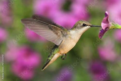 Foto op Aluminium Vogel Ruby-throated Hummingbird