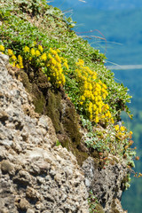 Yellow Flowers Grow From Sedum
