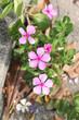 Catharanthus roseus garden.