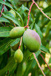 Group of Mangos Growing on Tree