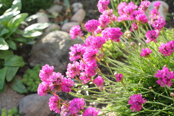 Deep Pink Thrift flowers