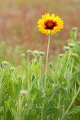 Indian Blanket, Sundance, or Firewheel Flower