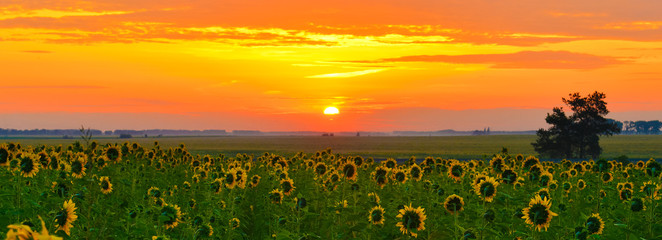 Sunrise sunflowers