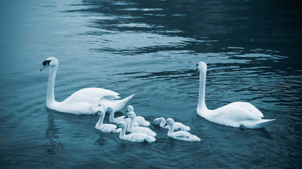 Swan with chicks.  Mute swan family