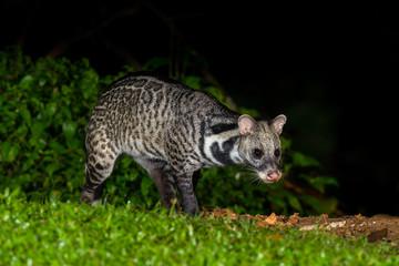 Nocturnal animals Viverra zibetha (Viverra zibetha)