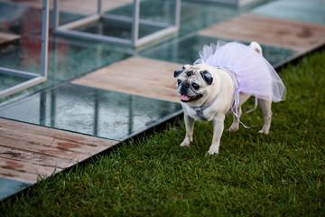 Carlino vestito per la cerimonia nuziale