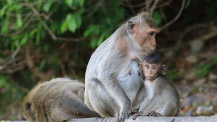 Family macaque monkey in thailand