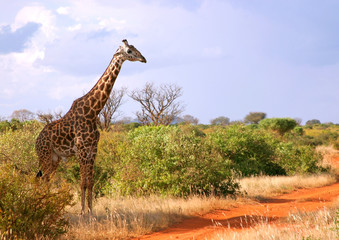 Giraffe in Kenia - wildlife