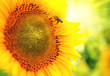 Beautiful sunflower blooming on the field. Growing sunflowers