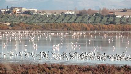 Flamencos en la Laguna de Fuente de Piedra.Andalucia, España.