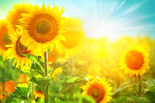 canvas print picture Beautiful sunflower blooming on the field. Growing sunflowers