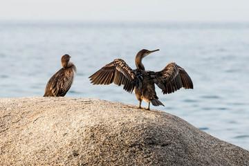 Great Cormorant (Phalacrocorax lucinus)