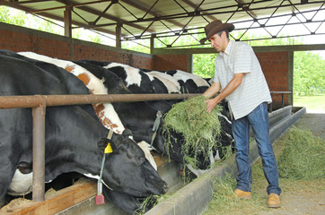 Farmer feeding cows on farm
