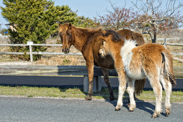 Assateague horse baby young puppy wild pony