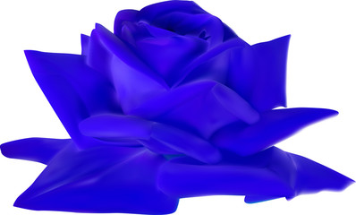 blue rose bloom isolated on white