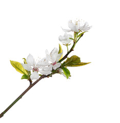 five white flowers on spring cherry tree branch