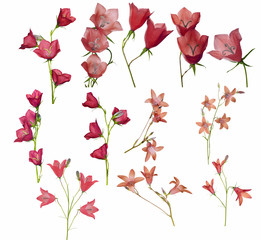 large set of red campanula flowers isolated on white