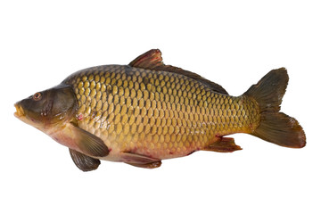 Carp isolated on white