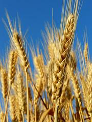 golden wheat ears against blue sky background