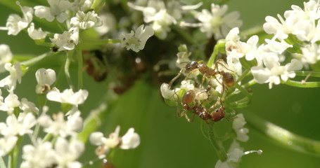 Two aphids crawling on the flowers 4K FS700 Odyssey 7Q
