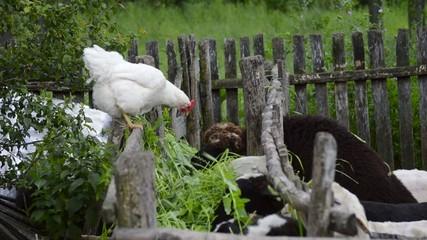 Chicken watching sheep eating