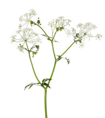 poison parsley flowers isolated on white
