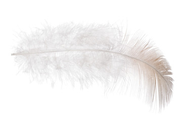 single feather with light brown edge