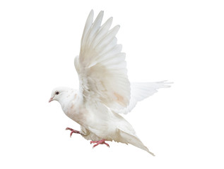 flying isolated light pigeon