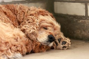 Sleeping red dog