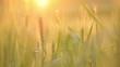 Wheat straws at sunset