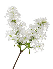 isolated pure white lilac twin branch