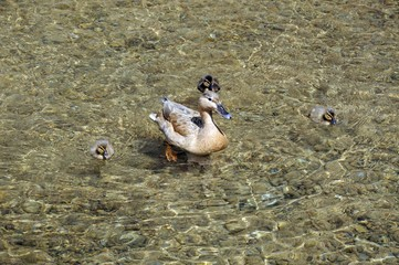 Duck and ducklings © Arena Photo UK