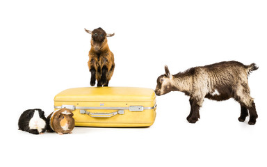 Goats on a suitcase