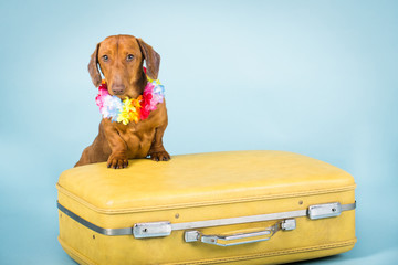 Dachshund on a suitcase