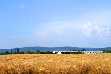 A farm in the distance - wheat crops in foreground