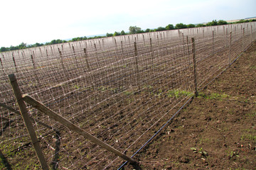 preparing the field for planting cucumbers