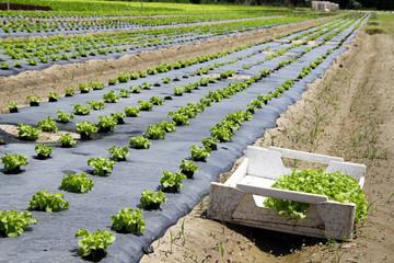 Repiquage de salades