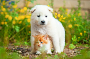 Samoyed puppy with little red kitten outdoors