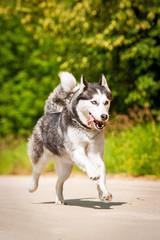 Siberian husky dog running in summer