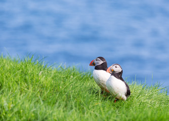 Puffin couple on Faroe islands.
